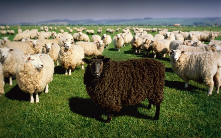 Black sheep standing amongst flock of white sheep (Digital Composite)